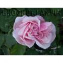 Rosa 'Verschuren' - Rosaceae - Rosier
