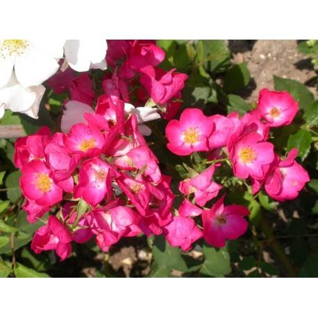 Rosa 'Vif Eclat' - Rosaceae - Rosier