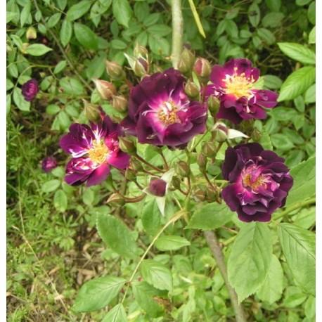 Rosa  'Violette' - Rosaceae - Rosier