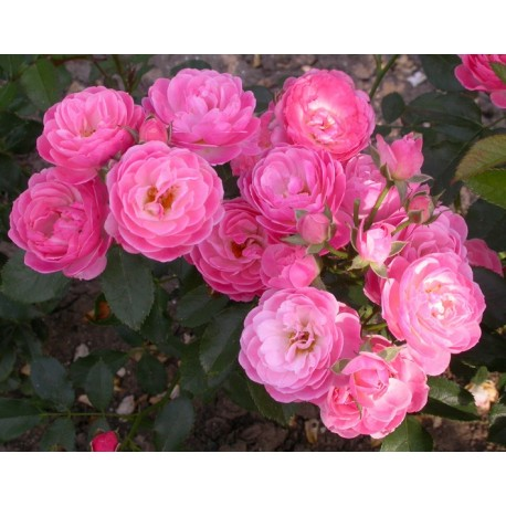 Rosa 'Walferdange' - Rosaceae - rosier