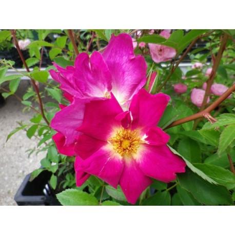Rosa 'Weg der Sine' - Rosaceae - Rosier couve-sol