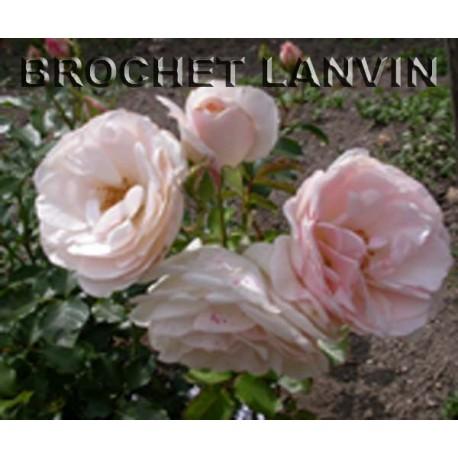 Rosa 'Weiser Hirsch' - Rosaceae - Rosier