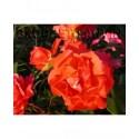 Rosa 'Westerland' - Rosaceae - Rosier