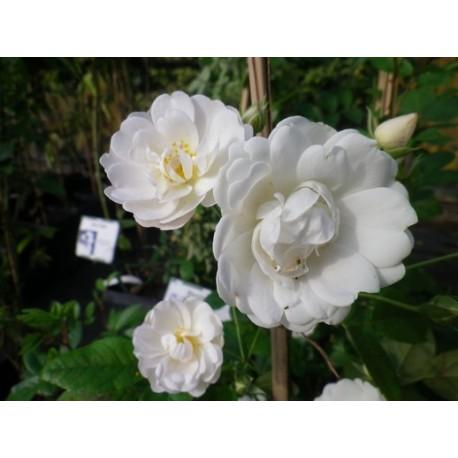Rosa  'White Flight cl' - Rosaceae - Rosier