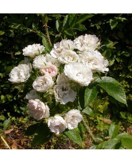 Rosa 'White Grootendorst' - Rosaceae - Rosier