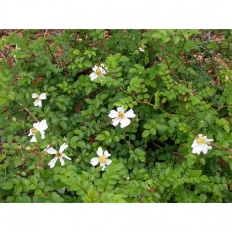 Rosa 'White Spray' - Rosaceae - rosier couvre sol
