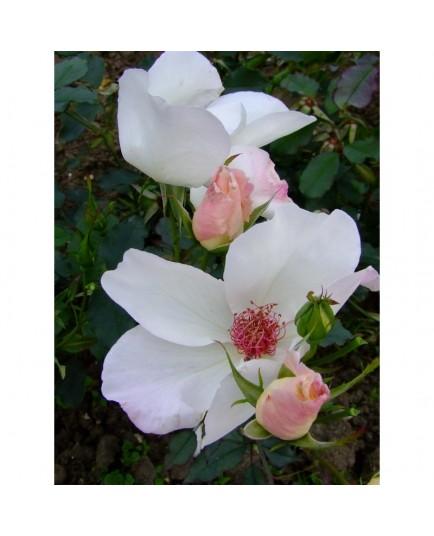 Rosa 'White Wings' - Rosaceae - Rosier