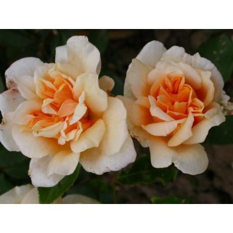 Rosa  'William Alllen Richardson' - Rosaceae - Rosa