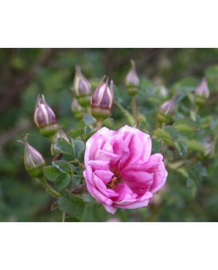Rosa 'William III' - Rosaceae - Rosier