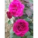 Rosa 'Cave de Tain' - Rosaceae - Rosier