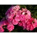 Rosa 'Yesterday' - Rosaceae - Rosier