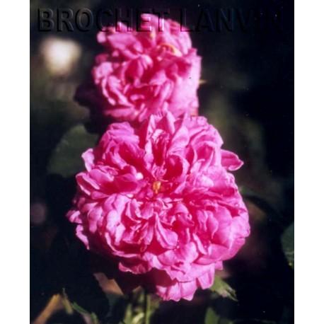 Rosa 'Yolande d'Aragon' - Rosaceae - Rosier
