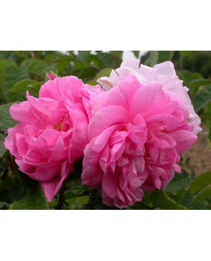 Rosa 'York and Lancaster' - Rosaceae - Rosier