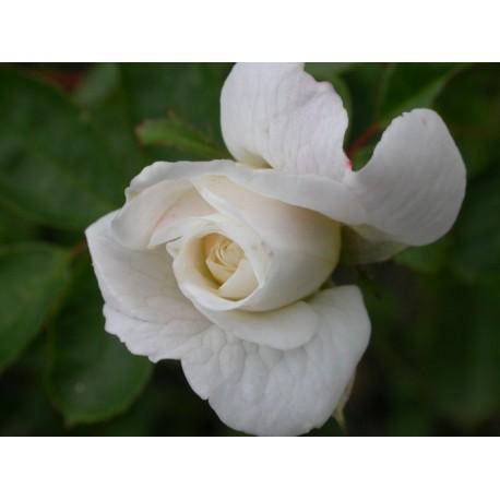 Rosa 'Yvonne Rabier' - Rosaceae - Rosier