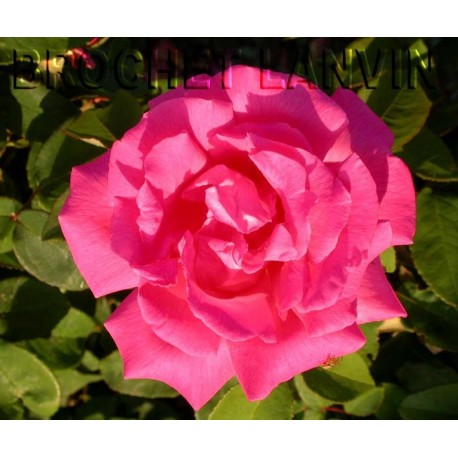 Rosa  'Zephirine Drouhin' - Rosaceae - Rosier
