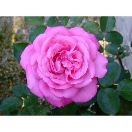 Rosa 'Eliza' - Rosaceae - Rosier
