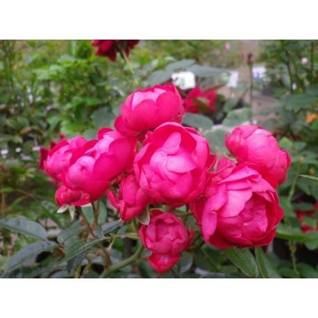 Rosa 'Fêtes des méres' - Rosaceae - Rosier