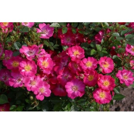 Rosa 'Lupo' - Rosaceae - Rosier