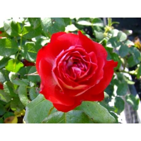 Rosa 'Planten un Blomen' - Rosaceae - Rosier