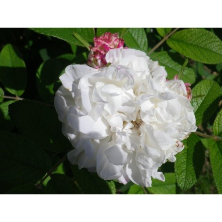 Rosa 'Louise Bugnet' - Rosaceae - Rosier