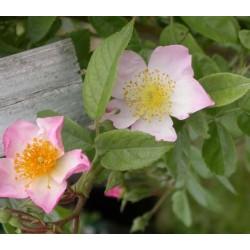Rosa 'Pearl' - Rosaceae – Rosier