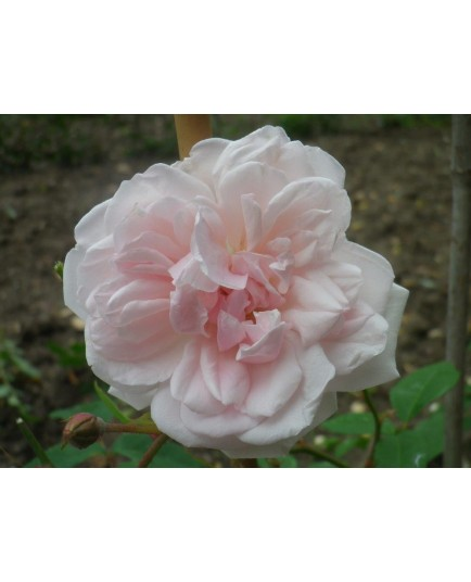 Rosa  'Hume's Blush Tea-scented China' - Rosaceae - Rosier