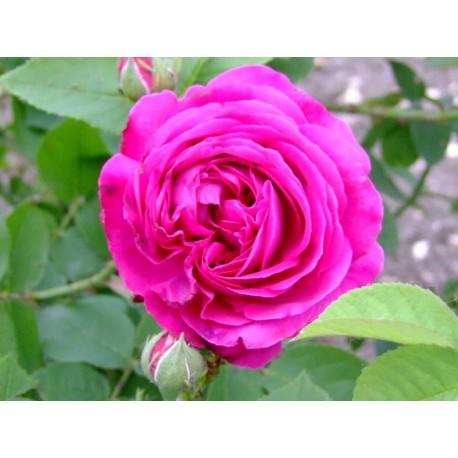 Rosa 'Géhénot' - Rosaceae - Rosier