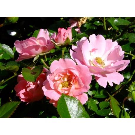 Rosa 'Vent d'étè' - Rosaceae - Rosier