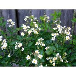 Rosa 'Samtosha' - Rosaceae – Rosier