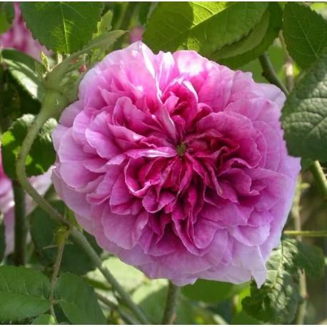 Rosa 'Président de Séze' - Rosaceae - Rosier