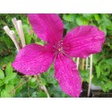 Clematis 'Rouge Cardinal' - Clematite