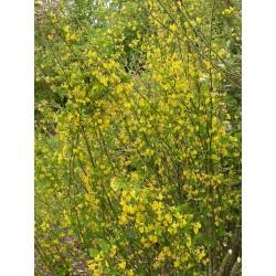 Coronilla emurus - Faux baguenaudier , séné bâtard, coronilles des jardins