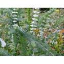 Eucalyptus gunnii 'Azura'®