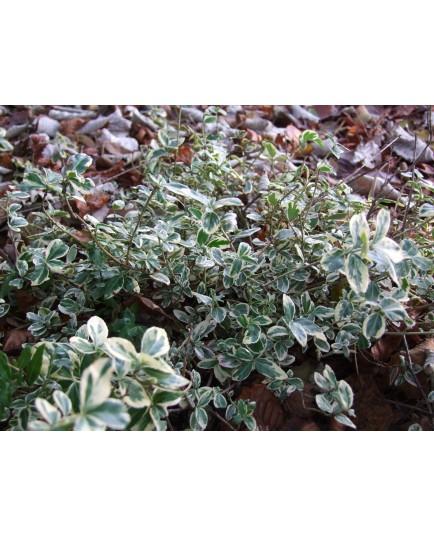 Euonymus fortunei 'Gracilis' - Fusain panaché