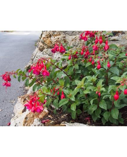 Fuchsia 'Mrs Popple'