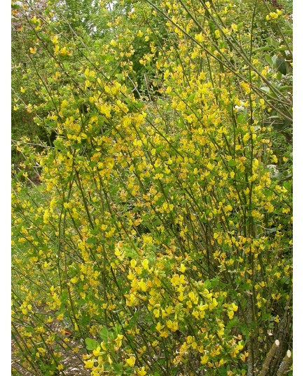 Hippocrepis emerus, Coronille arbustive