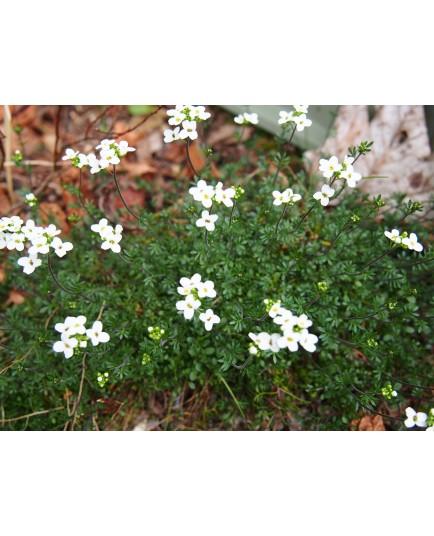 Hornungia alpina subsp auerswaldii - Cresson des chamois