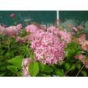 Hydrangea arborescens 'Pink Annabelle' ®