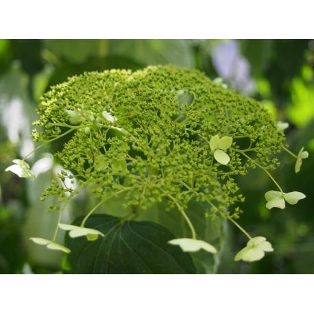 Hydrangea arborescens 'White Dome'