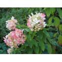 Hydrangea paniculata 'Diamant rouge' ®