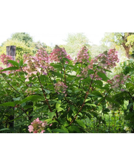 Hydrangea paniculata 'Wim's Red'®