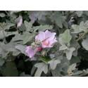 Lavatera thuringiaca 'Rosea' - mauve en arbre, lavatère arbustive