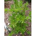 Ligustrum obtusifolium 'Massif'® - Troène