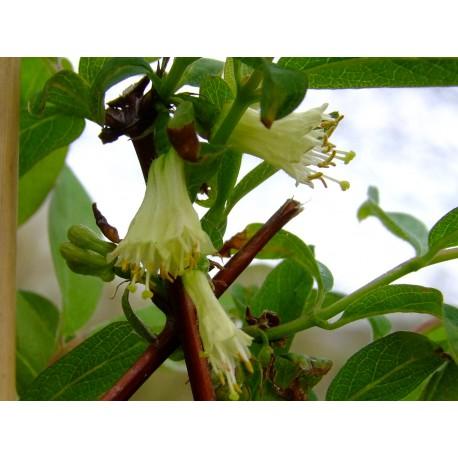 Lonicera caerulea var kamtchatica 'Fialka' - Chèvrefeuilles comestibles