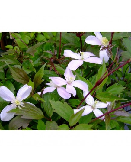 Clematis montana 'Fragrant Spring' - Clematite