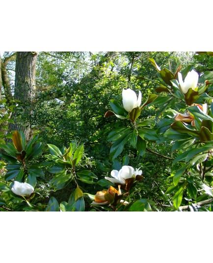 Magnolia grandiflora 'Galissonière'