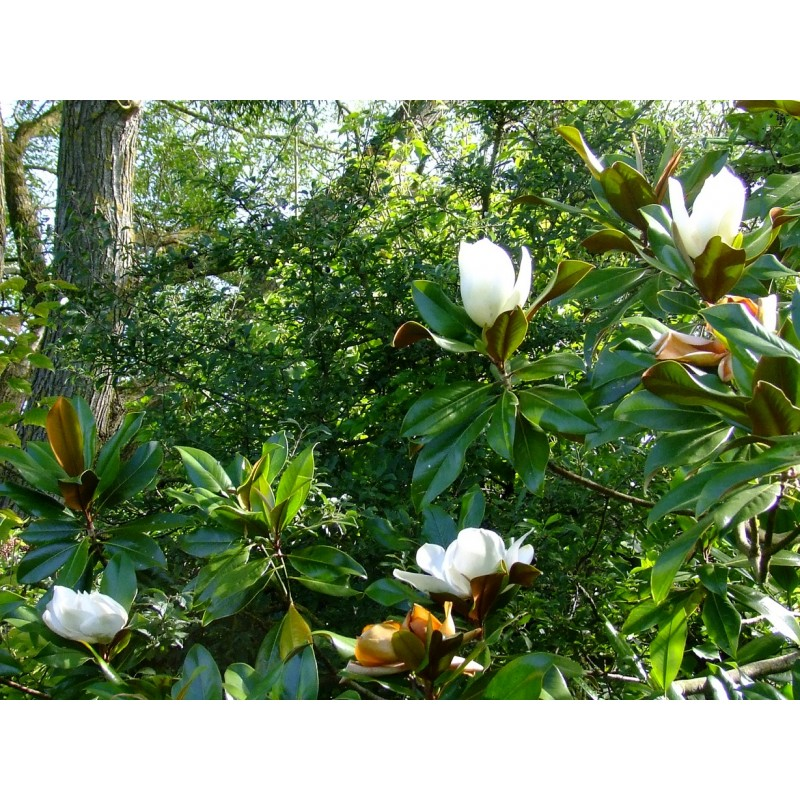 magnolia grandiflora galissoni re. Black Bedroom Furniture Sets. Home Design Ideas