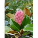 Magnolia grandiflora 'Ferruginea'