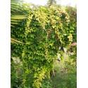 Parthenocissus 'Fenwaypark' - ampelopsis , vigne vierge