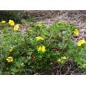 Potentilla fruticosa 'Longacre' - potentille arbustive